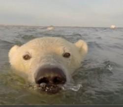 chwila sławy niedźwiedzia polarnego
