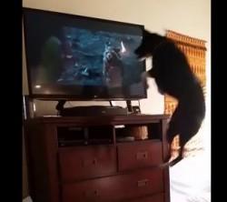 ja też chce oglądać - Shelby ogląda telewizję