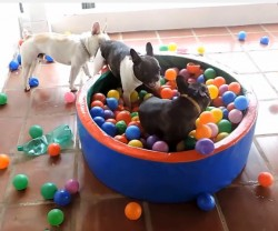 zabawa psów piłkami