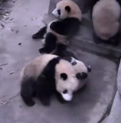 zabaza z pandami